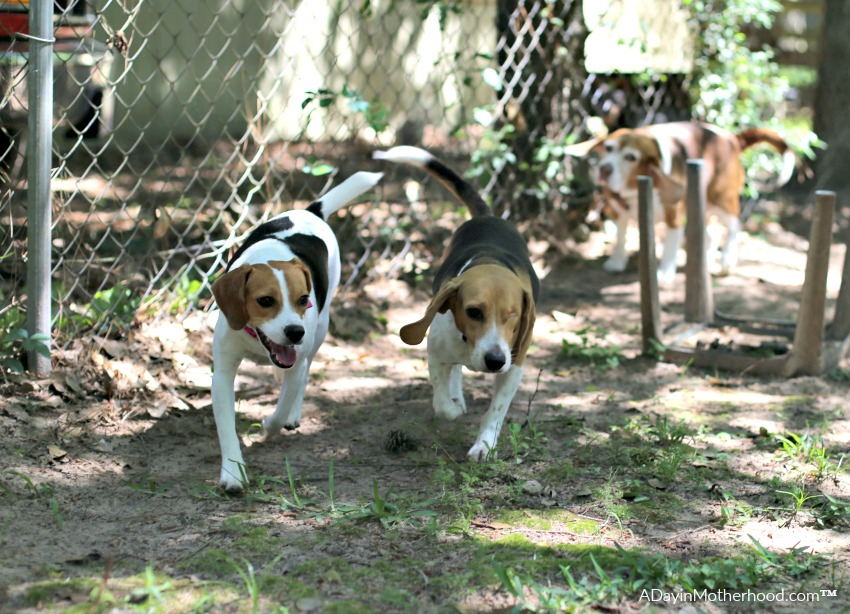 5 Tips for Managing Multiple Dogs includes creative ways to get them exercise
