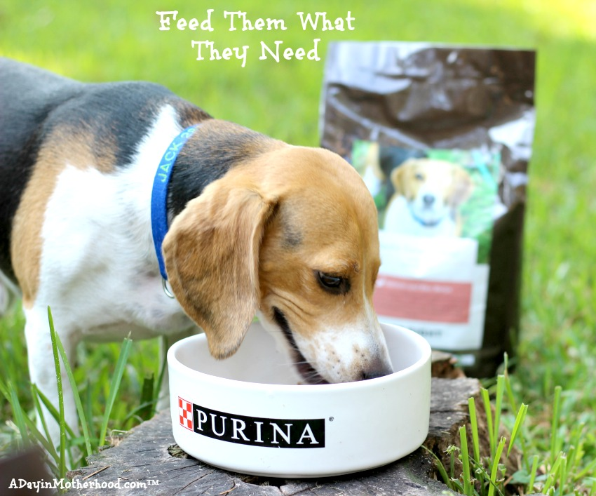One Eyed Jack gobbled up his Purina Just Right blend! #DogsofJustRight ad