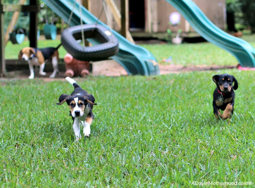 Why I Decided to Foster Puppies With Four Dogs of my Own and hand them back over
