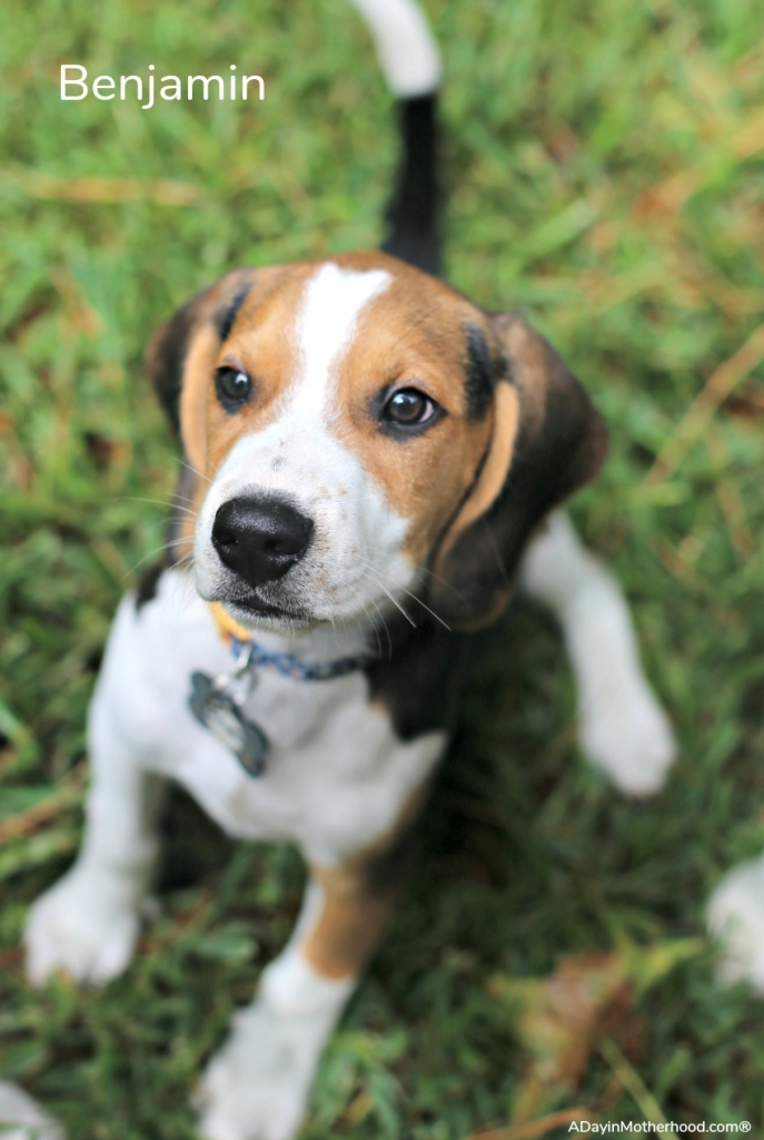 Why I Decided to Foster Puppies With Four Dogs of my Own like Benjamin