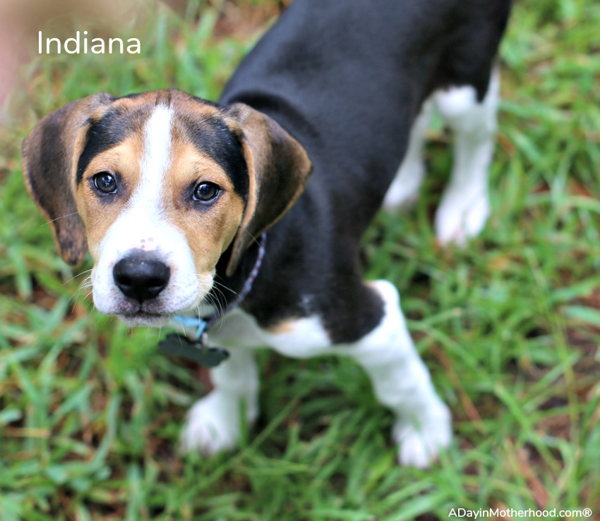 Why I Decided to Foster Puppies With Four Dogs of my Own like Indiana