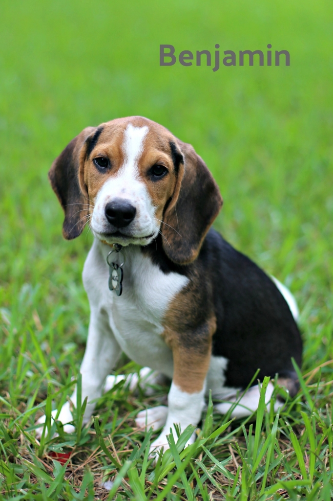 How Fostering Four Beagle Puppies is Teaching me to Let Go like CHarlie