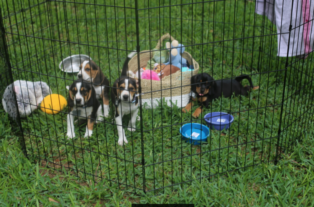 How Fostering Four Beagle Puppies is Teaching me to Let Go