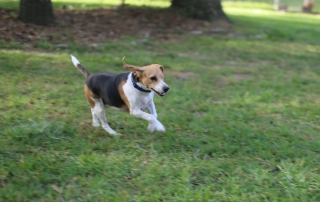 How to Train a Dog to be a Foster Brother by One Eyed Jack who is running