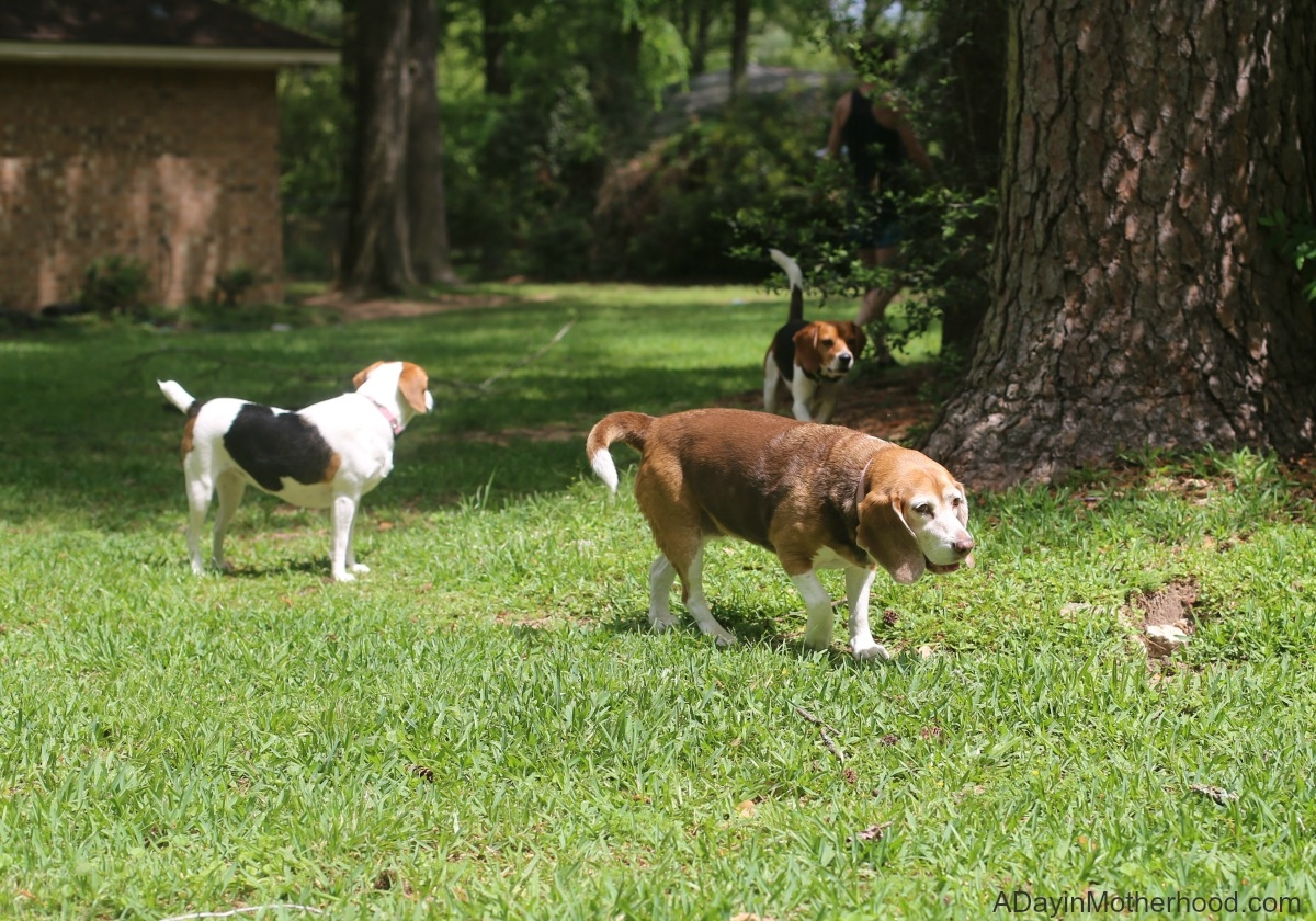 5 Tips to Help Make Multiple Dogs Work for Your Family like mine