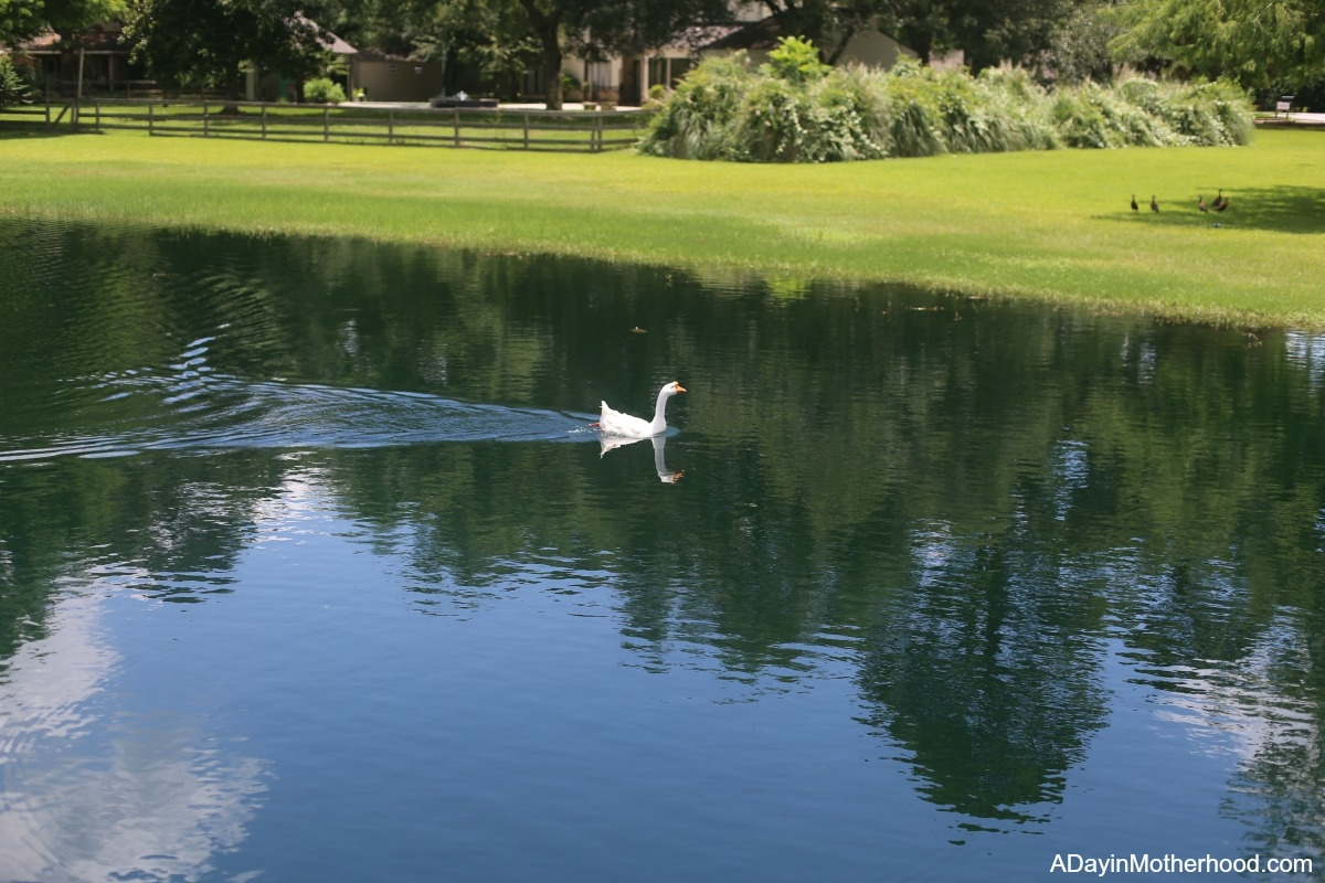 4 Benefits of Taking the Dog on a Walk at the duck pond